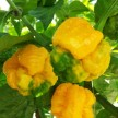 yellow moruga